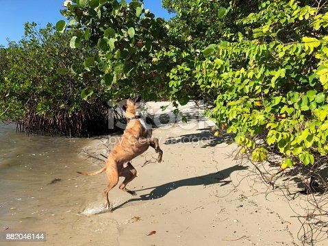 big dog jumps on a sandy beach