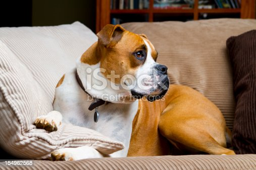 A fawn colored boxer dog laying on a couch with his head raised up.