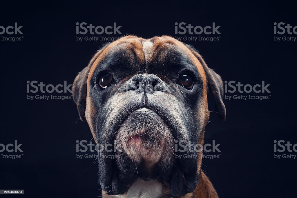 Boxer dog looking straight into camera isolated on black background – zdjęcie