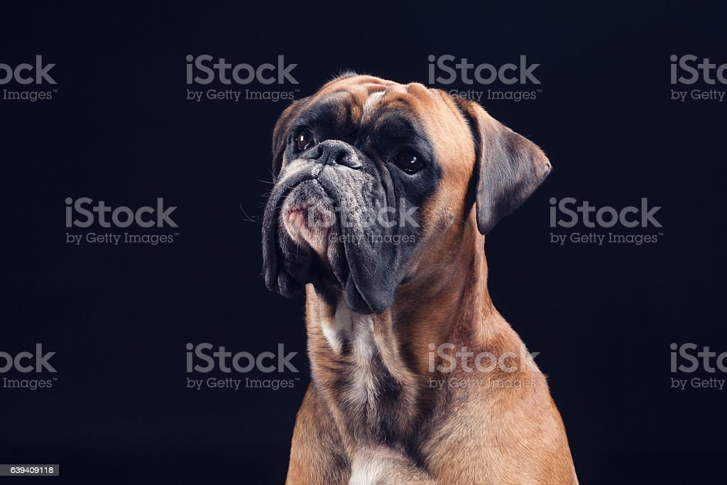 Boxer dog looking up isolated on black background stock photo