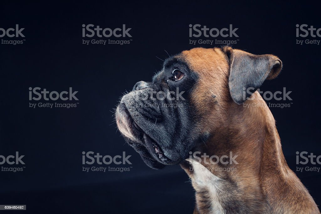Boxer dog looking up isolated on black background - foto de acervo