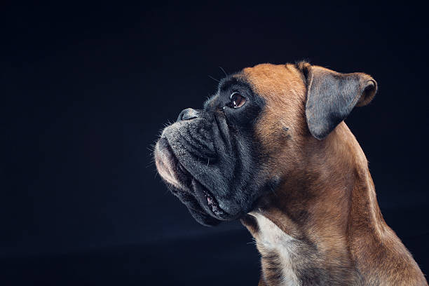 boxer dog looking up isolated on black background - bokser pies zdjęcia i obrazy z banku zdjęć