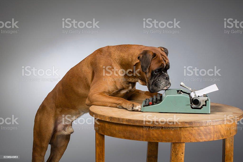 Boxer dog making note stock photo