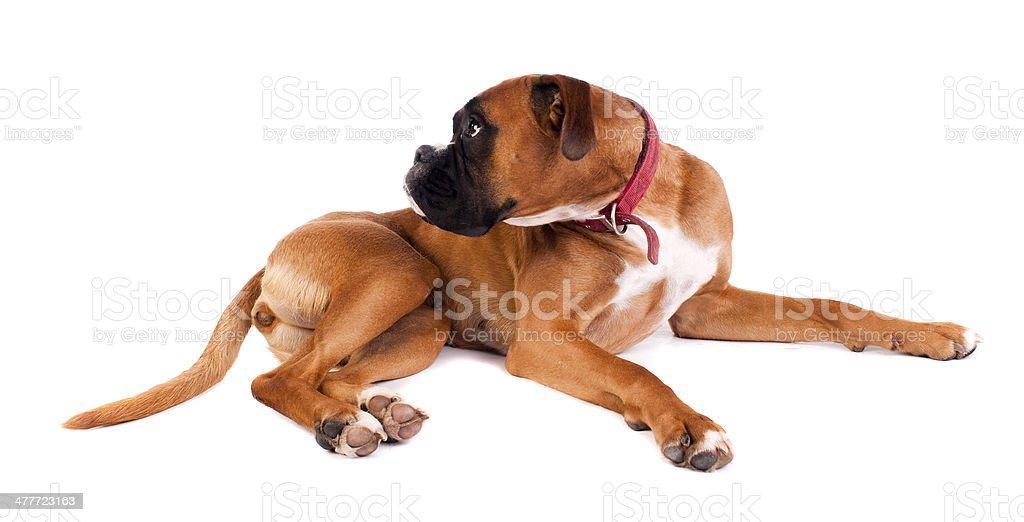 Boxer Dog on a White Background stock photo