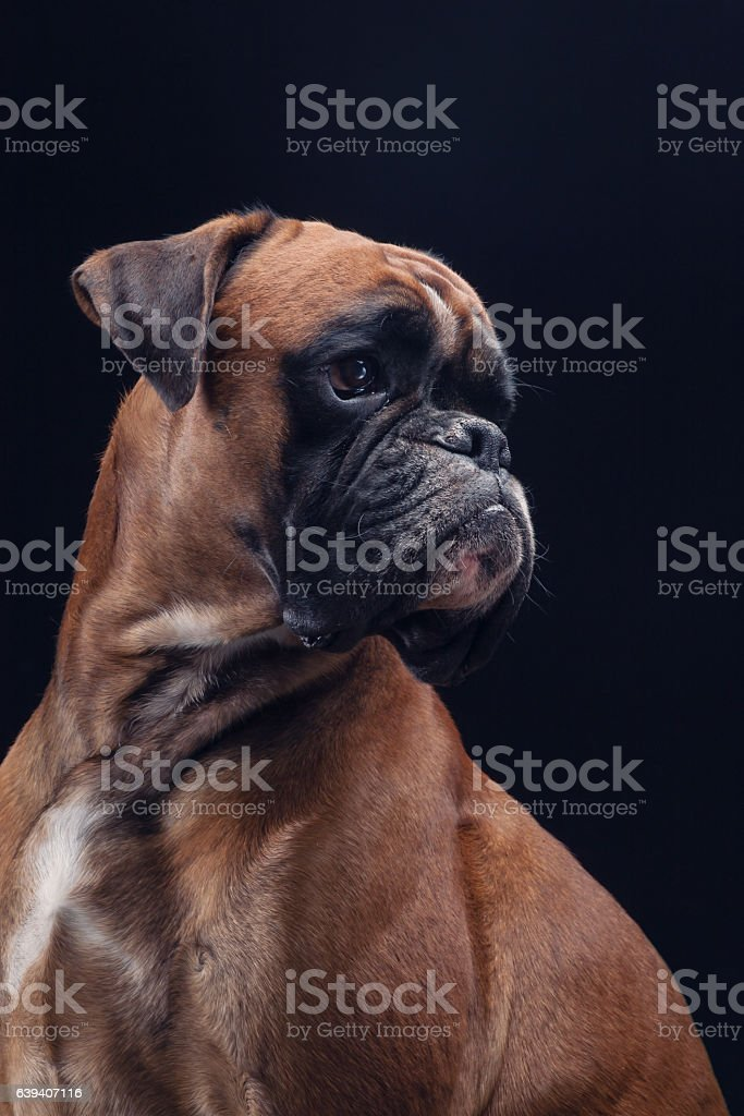 Boxer dog on black looking right side. stock photo