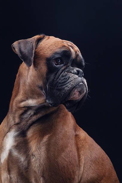 boxer dog on black looking right side. - bokser pies zdjęcia i obrazy z banku zdjęć