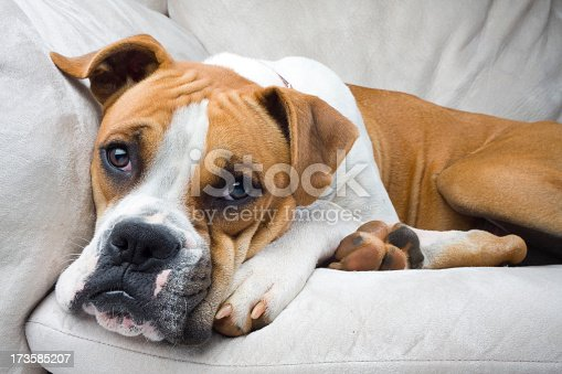 Wide angle close up of a brown and white boxer resting his head on his big comfy couch looking at the camera.