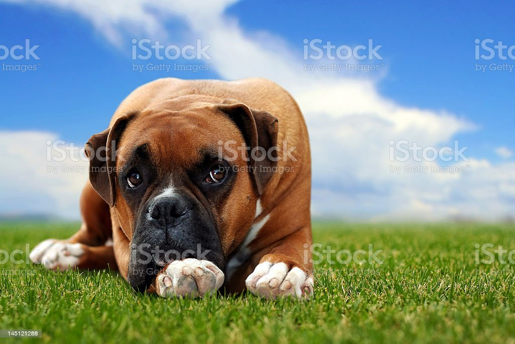 Boxer dog royalty-free stock photo