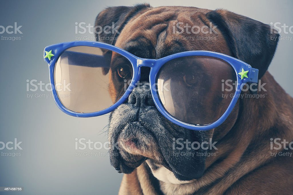 Boxer dog stock photo