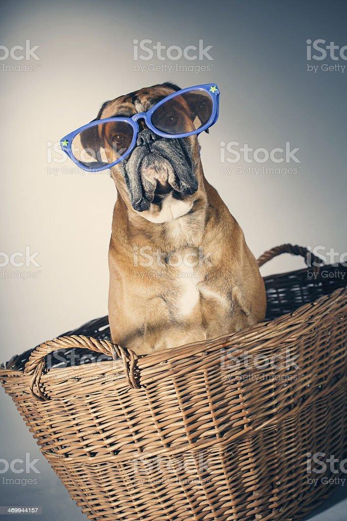 Boxer dog royalty-free stock photo