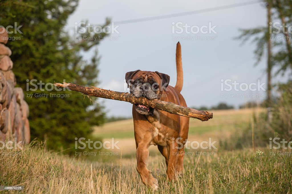 Boxer dog playing with big stick in the meadow.