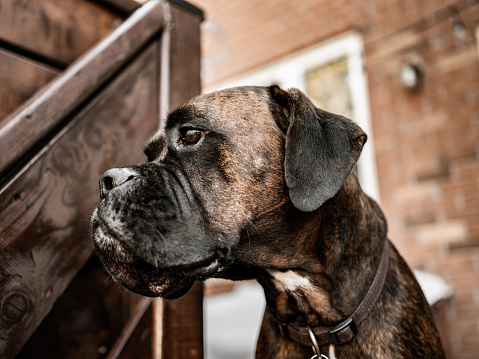 Close up of brindle boxer dog outdoors.