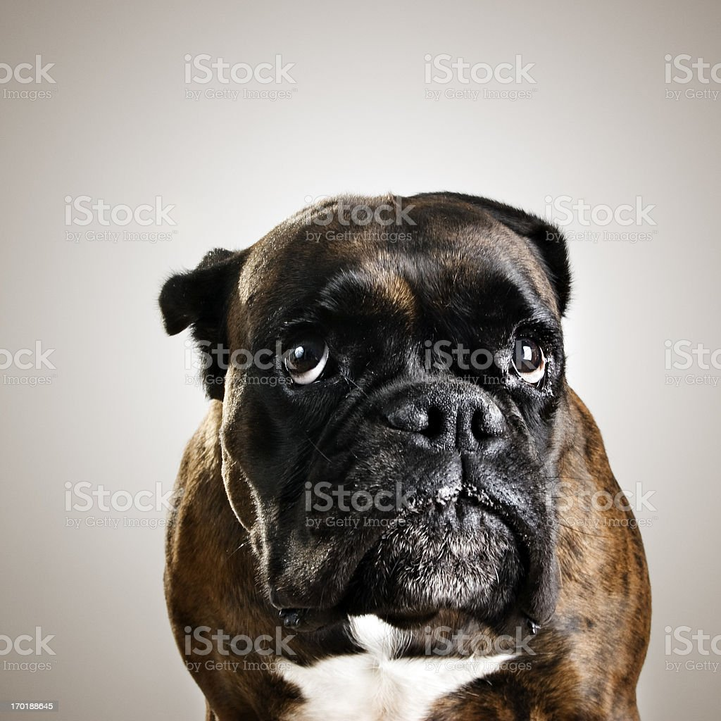 Boxer dog portrait stock photo
