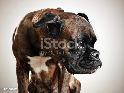 Studio portrait of a boxer dog looking to the side.