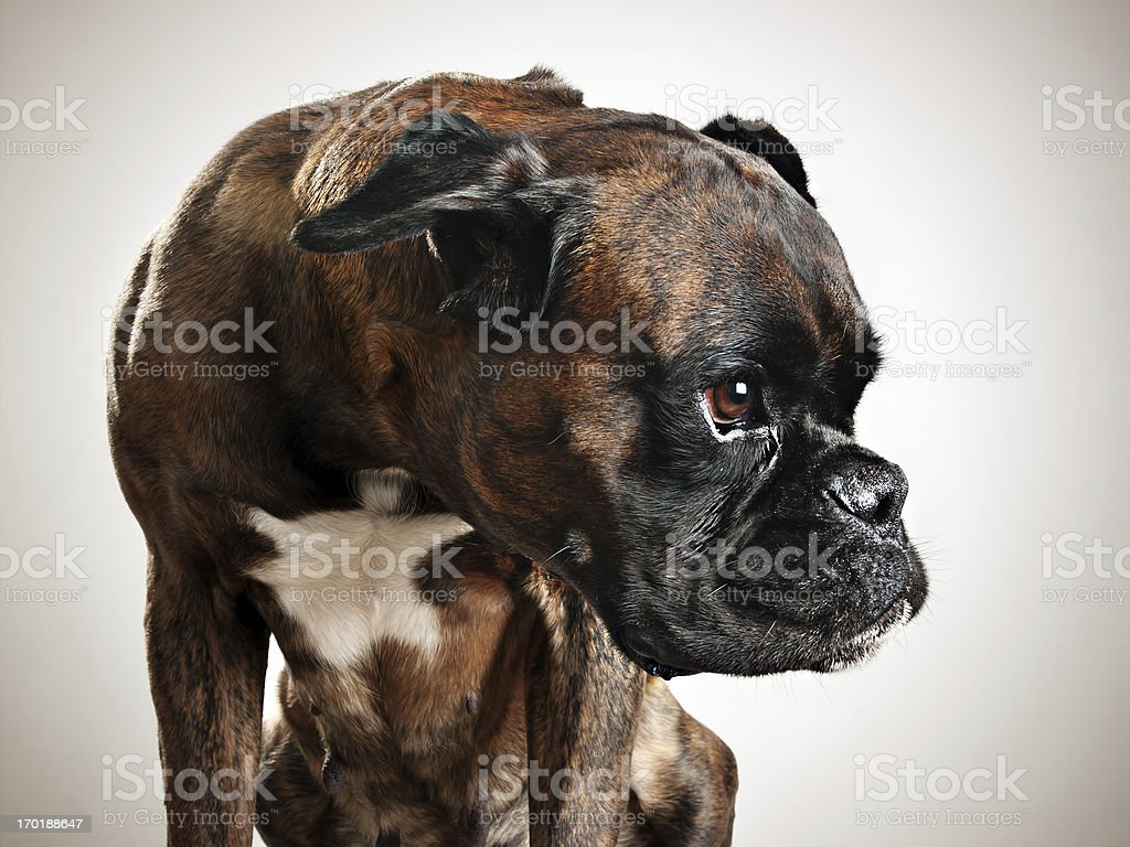 Pies boksera Portret – zdjęcie