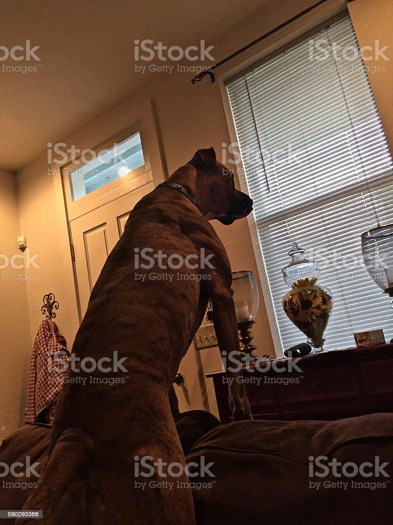 Boxer dog protects the home. royaltyfri bildbanksbilder