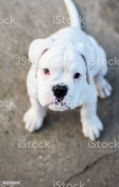 Boxer dog puppy picture id940226348?b=1&k=6&m=940226348&s=612x612&h=eakzk5tvpzqjoo w9yvfwslhu4fybh5vdmbkz2w8t94=