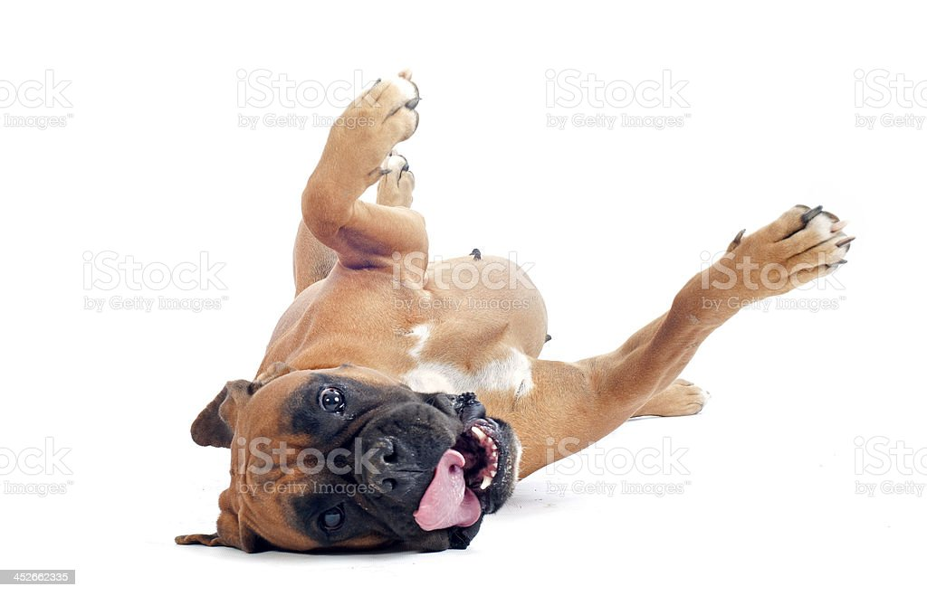 Boxer dog rolling on the ground with white background stock photo