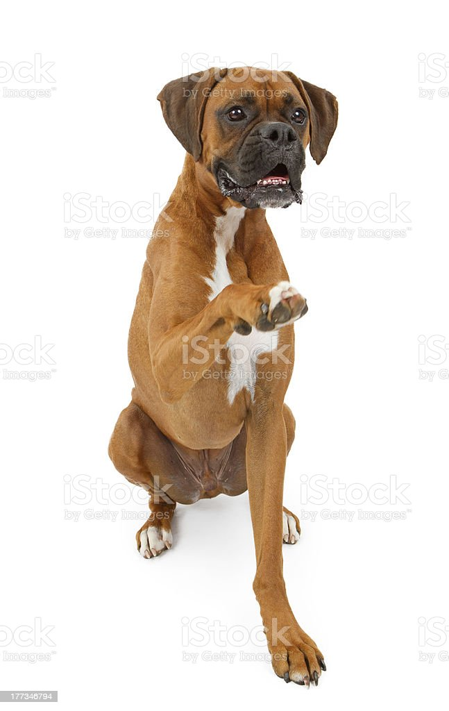 Boxer Dog Shaking Hands stock photo