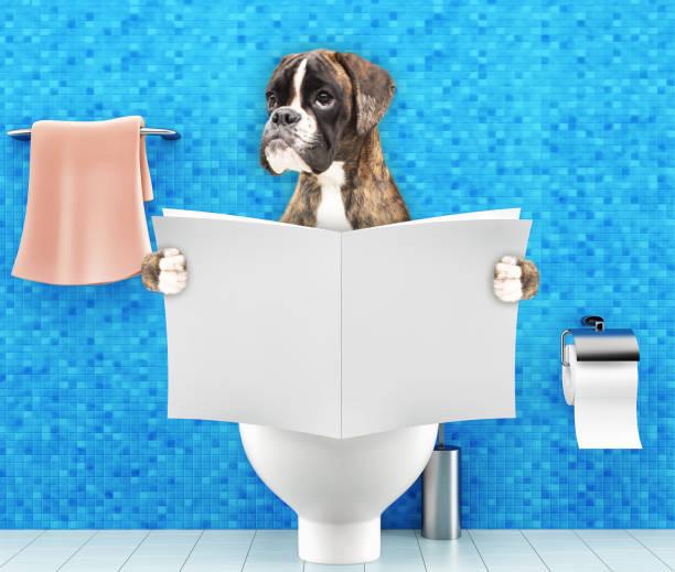 boxer hund sitzend auf einem toilettensitz mit verdauungsstörungen oder verstopfung magazin oder eine zeitung lesen - durchfall beim hund stock-fotos und bilder