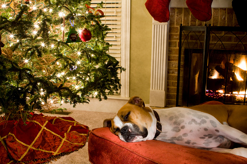 A big lazy Boxer dog snoozes in a big comfortable chair with his head on a fancy pillow.
