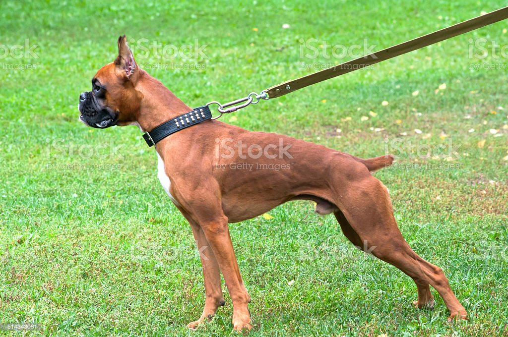boxer dog standing on the grass stock photo