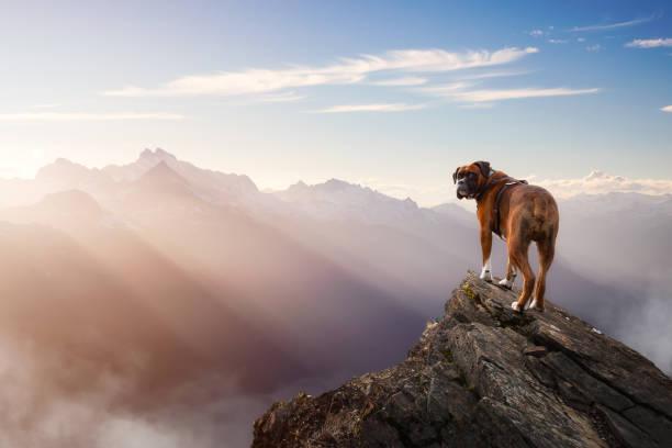 Boxer Dog Standing on top of mountain peak.