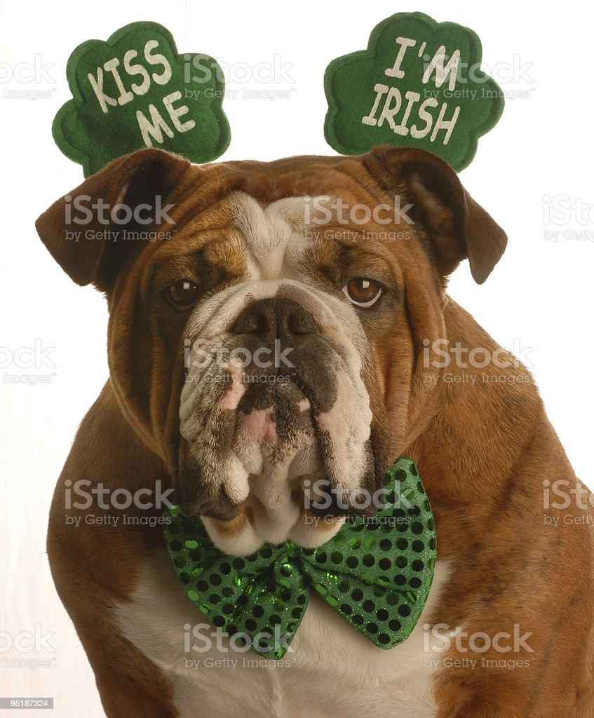 Boxer dog wearing green sequined bow tie stock photo