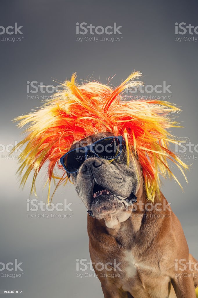 Boxer dog wearing wig and sunglasses. stock photo