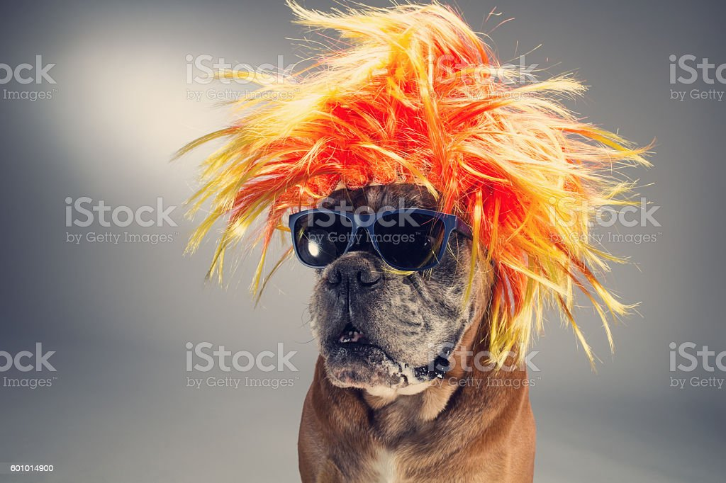 Boxer dog wearing wig and sunglasses stock photo