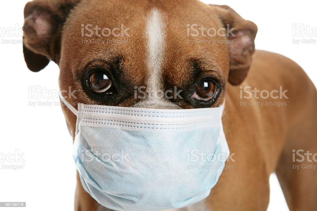 Boxer dog with a flu mask on its snout stock photo