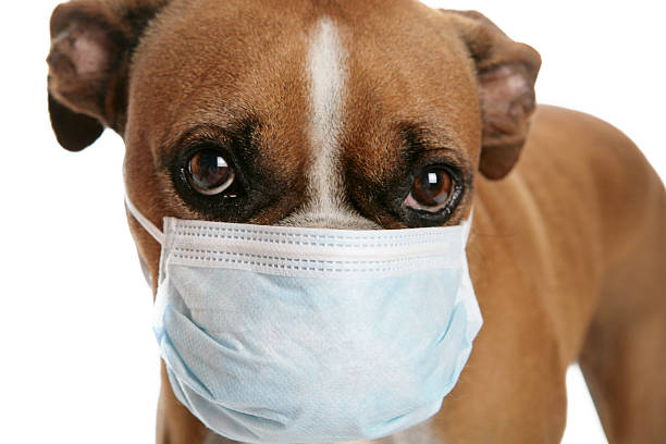 boxer-dog-with-a-flu-mask-on-its-snout-picture-id182195118