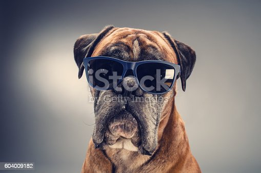 Boxer dog with sunglasses who is looking ahead. Light grey background.