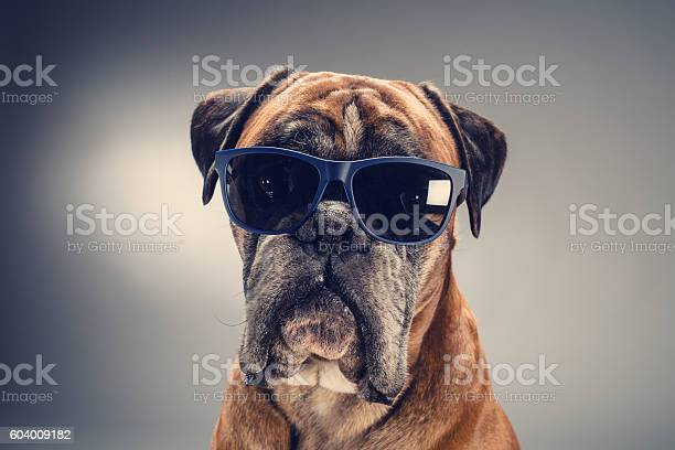 Boxer dog with sunglasses looking ahead picture id604009182?b=1&k=6&m=604009182&s=612x612&h=mlknnx7oa6 6bhh59qajqf licxwocl18v5pfcbd t4=