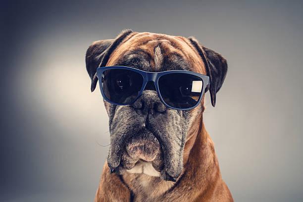 boxer dog with sunglasses looking ahead. - bokser pies zdjęcia i obrazy z banku zdjęć