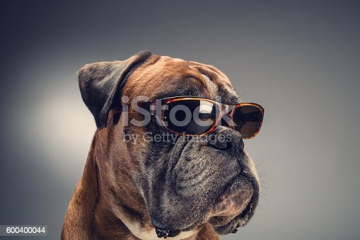 Boxer dog with party hat who is looking at something on the right side. Light grey background.