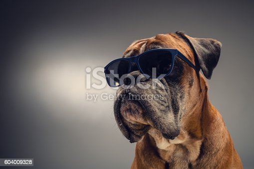Boxer dog with sunglasses who is looking at something on the left side. Light grey background.