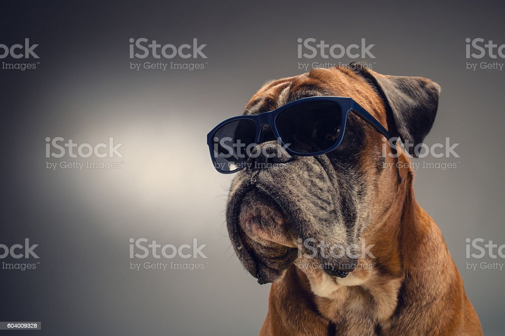 Pies boksera z okulary przeciwsłoneczne – zdjęcie
