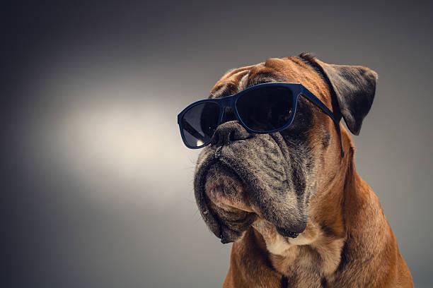 pies boksera z okulary przeciwsłoneczne - bokser pies zdjęcia i obrazy z banku zdjęć