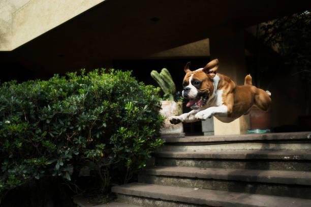 boxer fetch superman style - bokser pies zdjęcia i obrazy z banku zdjęć