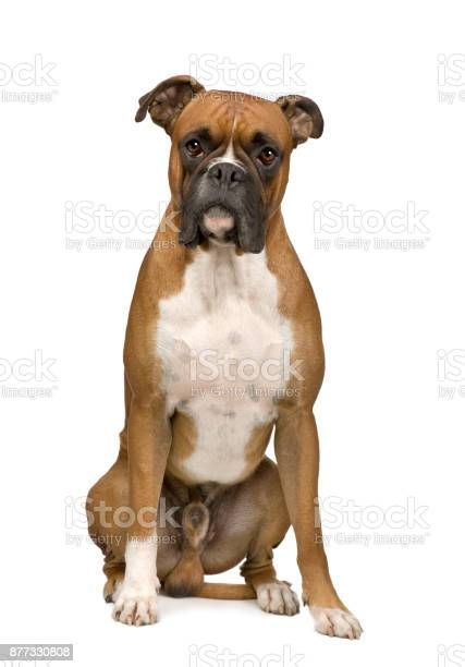Boxer in front of a white background picture id877330808?b=1&k=6&m=877330808&s=612x612&h=hqou08ezlsgh vf hqa 8usewrfnenprvmmkrtej12q=