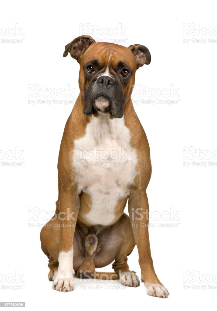 Boxer in front of a white background stock photo