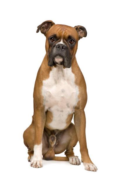 boxer in front of a white background - bokser pies zdjęcia i obrazy z banku zdjęć