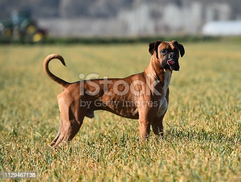 Boxer in the green field