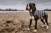 Young male Boxer dog playing on the beach during the stormy day in winter.