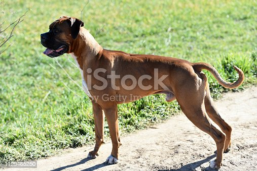 boxer dog in the Green field