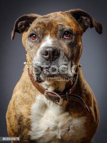 A close-up of a mixed breed boxer pit bull dog looking directly at the camera.