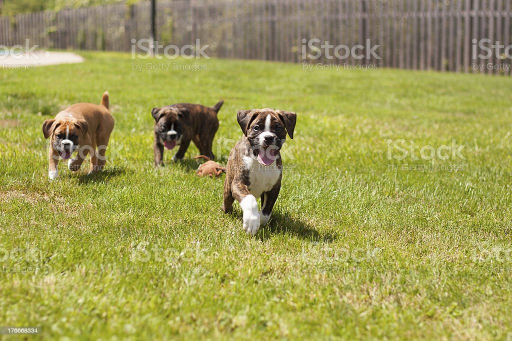 Boxer puppies royalty-free stock photo