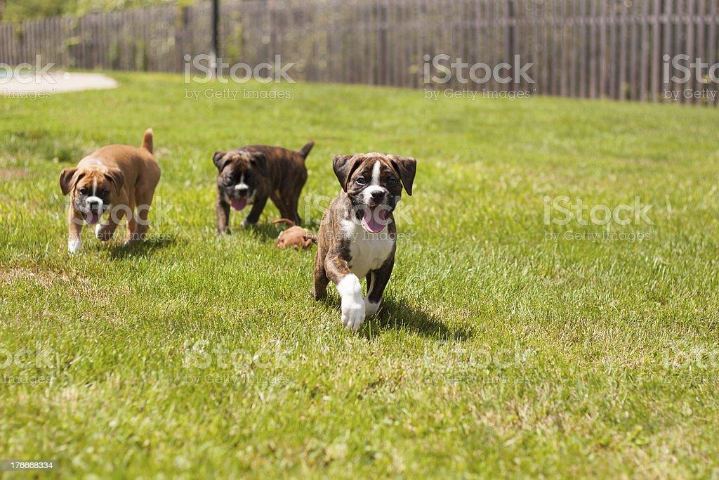 Boxeador puppies foto de stock libre de derechos