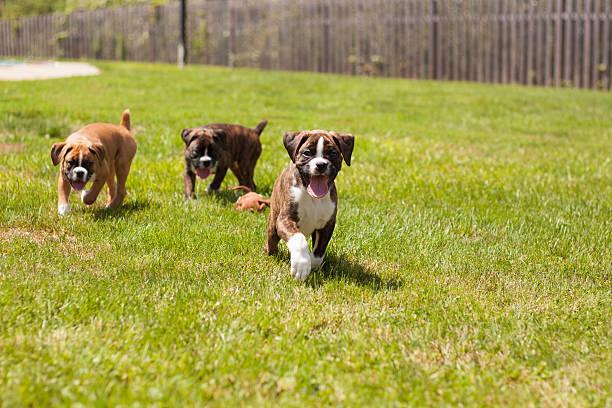 Boxer puppies picture id176668334?b=1&k=6&m=176668334&s=612x612&w=0&h=pl7xpot5 x4x4tkk550o3rde384uakbmrvfdvvgedry=